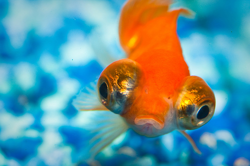 Bewildered goldfish