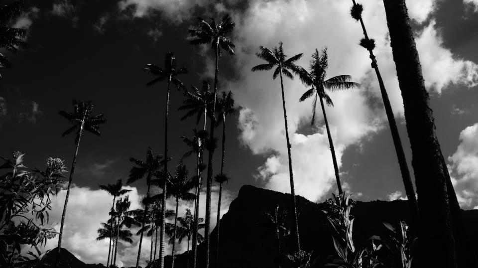 colombia-palm-trees